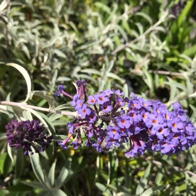 Buddleja davidii 'Nanhoensis' Nanho Blue Dwarf/Compact variety. 'Summer Lilac'