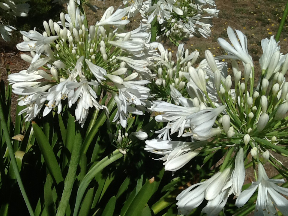 Agapanthus Orientalis White Tall Delv From May June 2020
