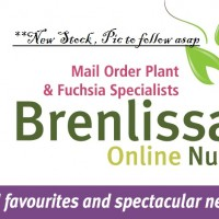 Magnolia grandiflora 'Little Gem' tree mail order nursery online