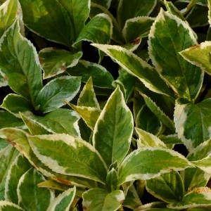 Variegated hydrangea Our stock May 2017 Lumix camera