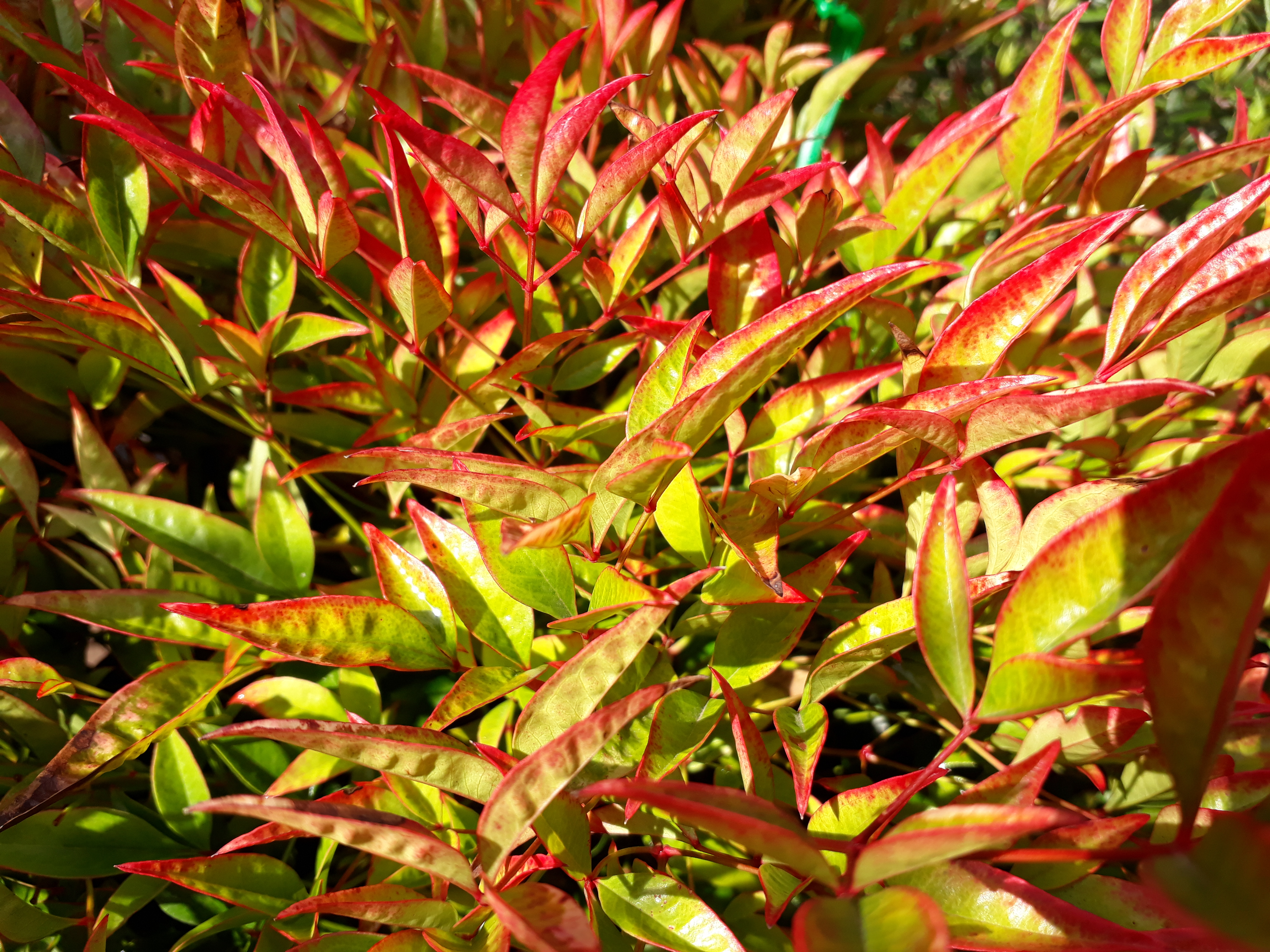 Picture of Live Heavenly Bamboo (dwarf) aka Nandina domestica 'Moon Bay' Plant Fit 5 Gallon Pot