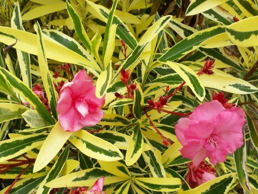Oleander Nerium splendens Double pink variegatum