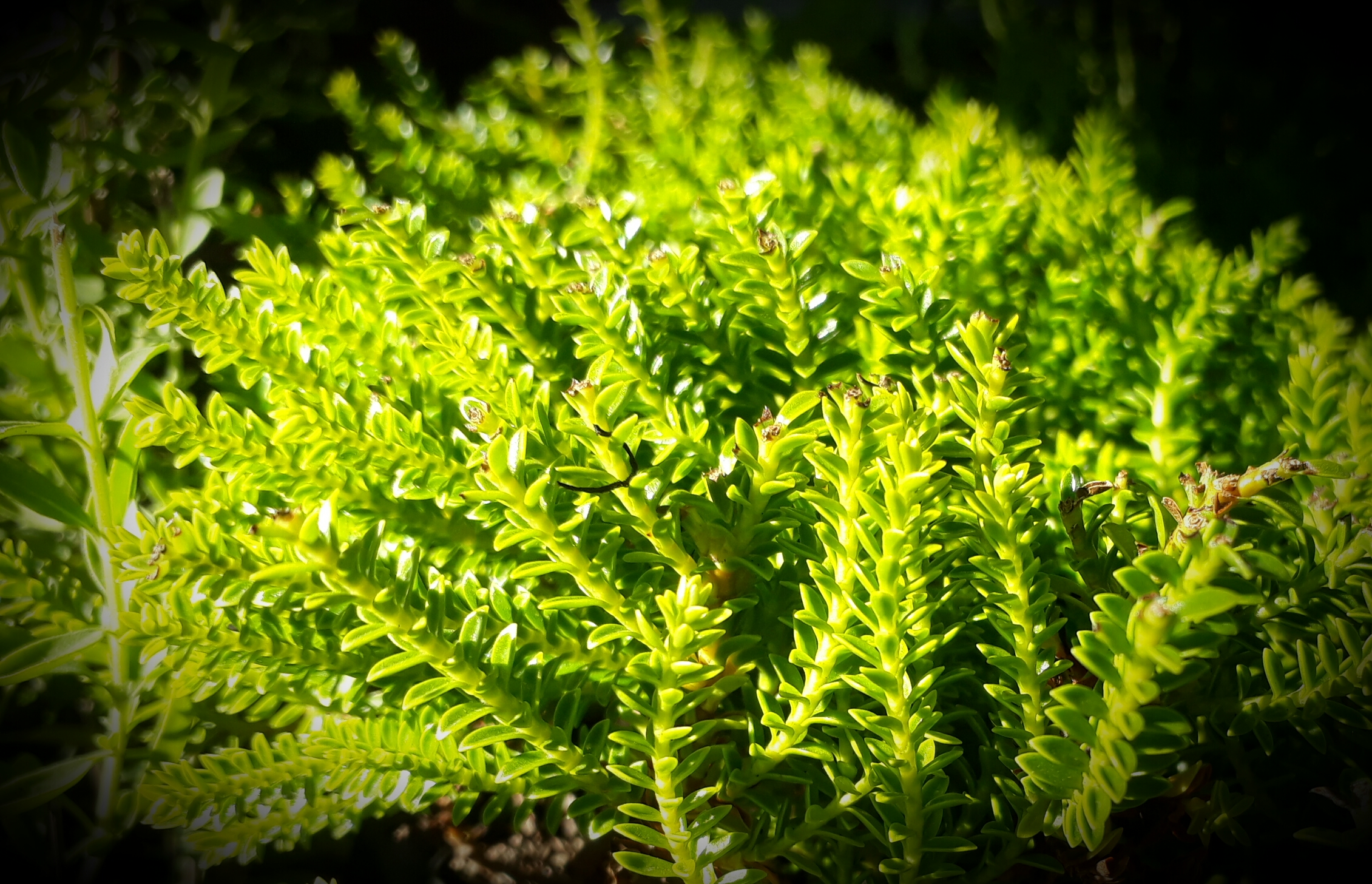Hebe Emerald Green, Devine foliage! topiary ball cloud pruning topiarised hedge hedging Ballarat Creswick Daylesford