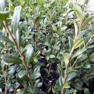 Ilex crenata 'Fastigiata' - Upright Japanese Holly