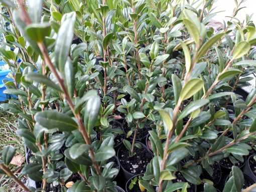 Ilex crenata 'Fastigiata' - Upright Japanese Holly