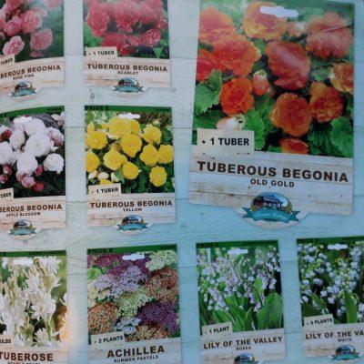 Tuberous Begonia mixed colours Trenton catalogue image Ballarat Begonia Festival mail order nursery