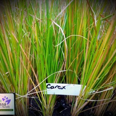Carex appressa tall sedge grass