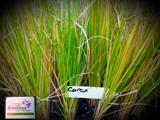 Carex appressa tall sedge grass