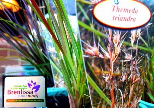 Themeda triandra australis Kangaroo Grass tussock