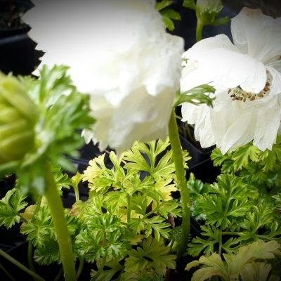 anemone white mail order online nursery