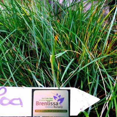 Lomandra confertifolia 'Little Con' Mat Rush