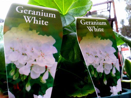 Geranium Geranium White, Hybrid pelargonium. mail order online nursery