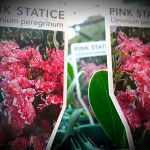 Limonium peregrinum roseum Pink Statice Our prices include secure plant packaging, Our plant and delivery guarantees, eParcel services, Parcel tracking and GST