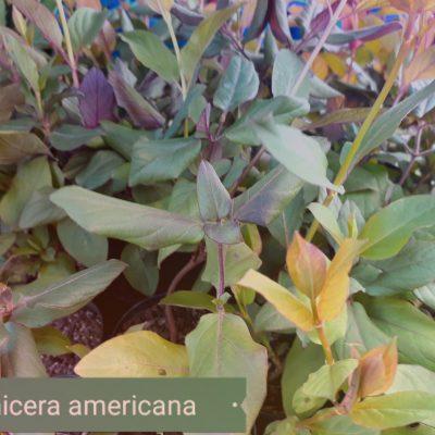 Lonicera americana, American Woodbine - Honeysuckle mail order online nursery