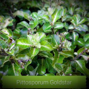 """Pittosporum tenuifolium """"Gold Star"""" mail order online nursery"""