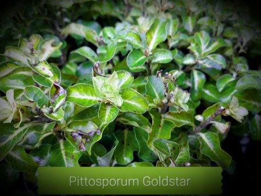 "Pittosporum tenuifolium ""Gold Star"" mail order online nursery"