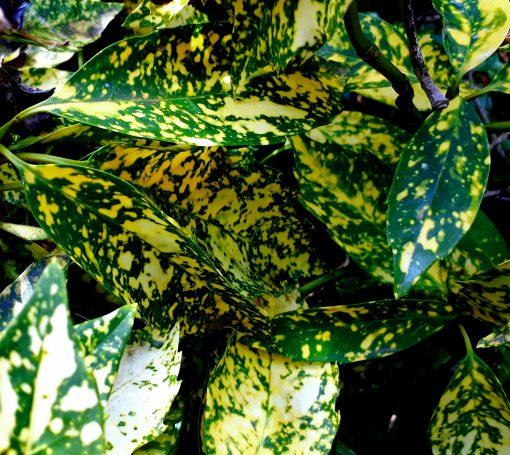 Aucuba japonica, Japanese Laurel, Spotted Laurel, Gold Dust mail order online nursery