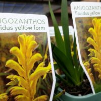 Anigozanthos flavidus Yellow Kangaroo Paw mail order nursery ballarat buy online for sale home delivery natives