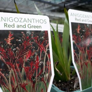 Anigozanthos manglesii red green form mail order online nursery