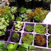 Assorted Mosses and Lichens terrarium air plants 50mm pot mail order buy online nursery delivery Ballarat Creswick Daylesford Melbourne Victoria