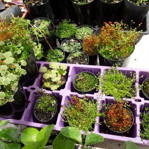 Assorted Mosses and Lichens terrarium air plants 50mm pot mail order buy online nursery delivery Ballarat Creswick Daylesford Melbourne Victoria