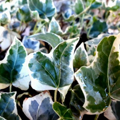 Hedera helix variegata, Variegated Ivy