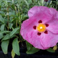 Cistus purpureus Rock rose Brilliancy