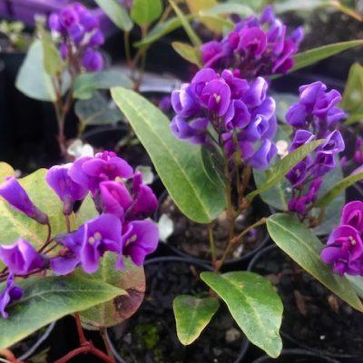 Happy-Wanderer-purple