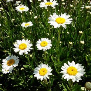 Shasta Daisy Leucanthemum x superbum chrysanthemum maximum asteraceae family mail order online nursery Ballarat Creswick Daylesford Melbourne Victoria