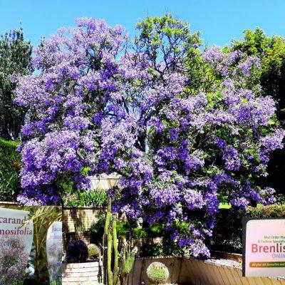 Jacaranda Tree (J. Mimosifolia) Street Avenue Park Tree botanical Sydney NSW