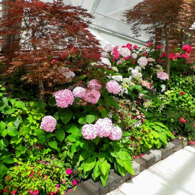 Hydrangeas varieties - Advanced Potted