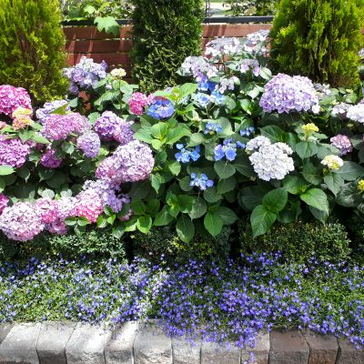 Hydrangea Varieties - Potted