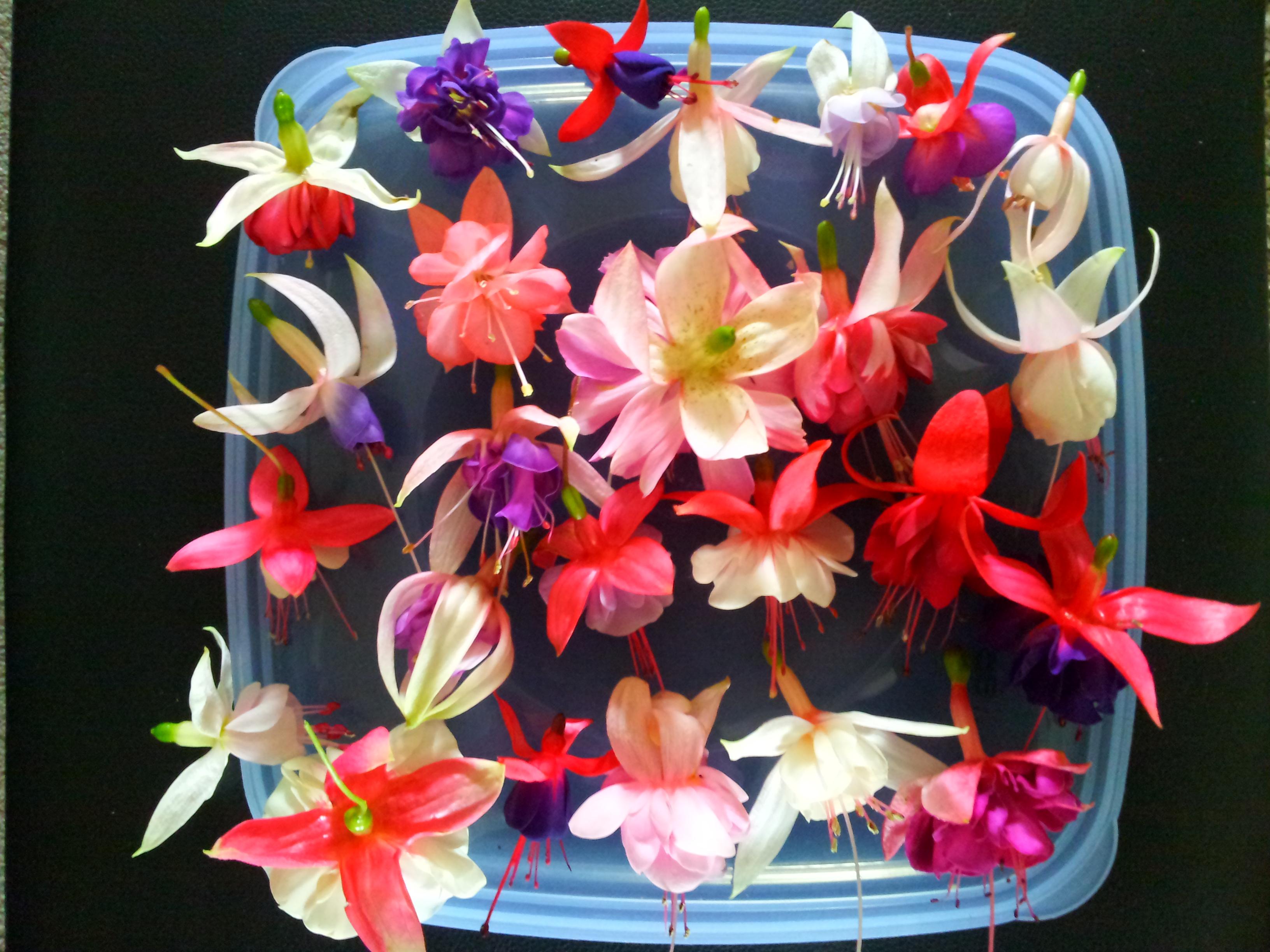 Fuchsias - Bundle Packs & Gifts