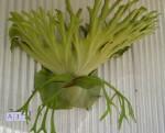 Staghorn & Elkhorn Ferns - Platycerium