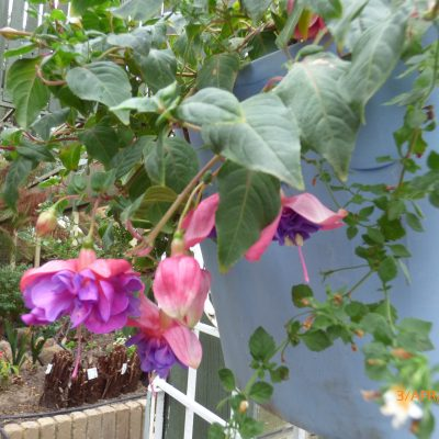 Fuchsias - Trailing/Lax shrubs