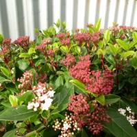 Viburnum Varieties