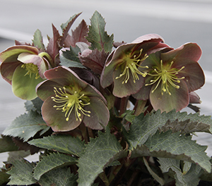 Hellebore sternii Hot Flash mail order online nursery Winter Roses