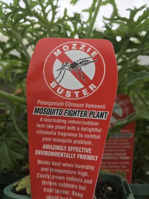 Mozzie Buster Pelargonium citrosum vanleenii