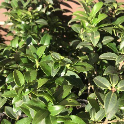 Osmanthus burkwoodii fragrant hedge mail order online nursery ballarat melbourne Creswick Victorian delivery
