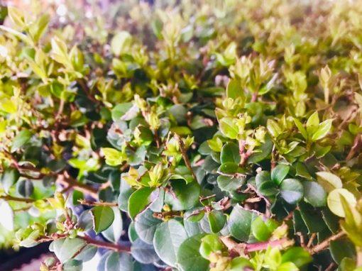 Luma-apiculata