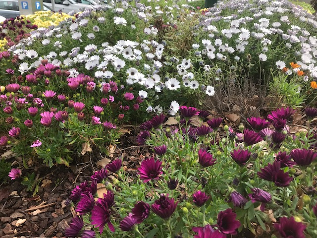Osteospermum Mixed Varieties/hybrids