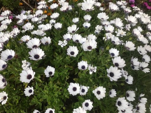 Osteospermum mixed varieties hybrids