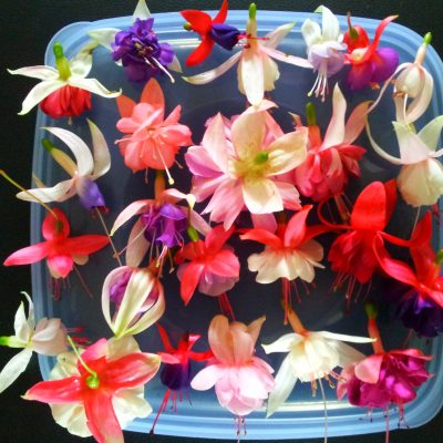 Fuchsia hybrids/cultivars, Larger 140mm pot, Pick up Only. Lots of varieties!