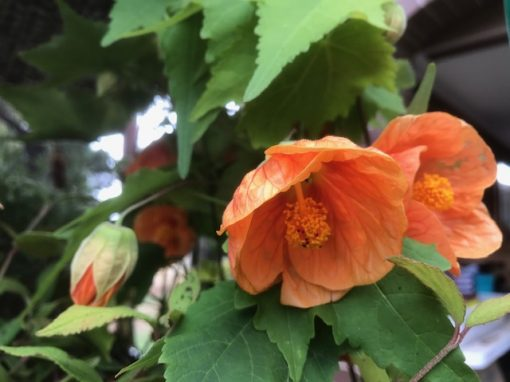 Orange abutilon hybridum