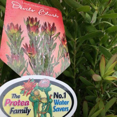 Leucadendron salignum 'Devils Blush' Compact