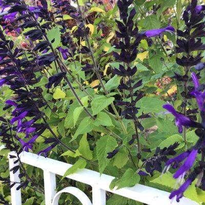 Salvia guarnitica Black Blue