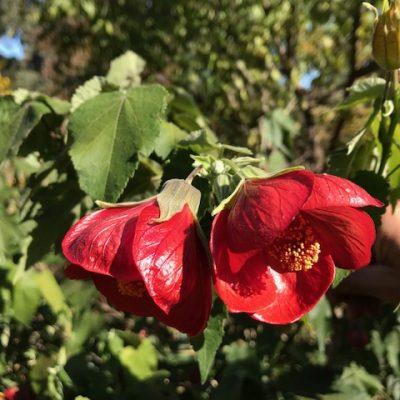 Red Abutlion hybrid mail order online nursery creswick daylesford ballarat
