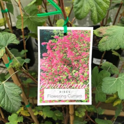Ribes Flowering Currant