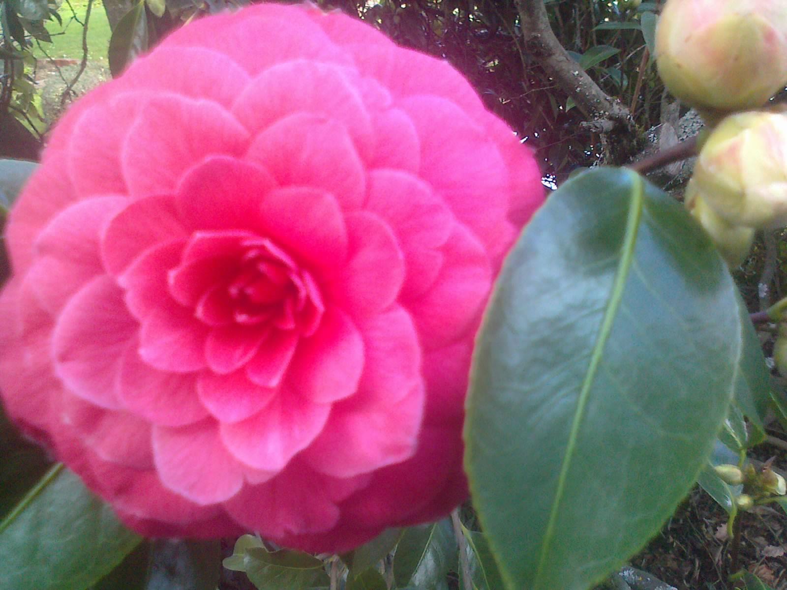 Camellia Japonica Roger Hall camellia japonica 'rodger hall' advanced range 75mm pot. delv from dec 2019