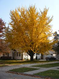 Ginkgo Biloba Maidenhair Tree Living Fossil Tree Avail From May